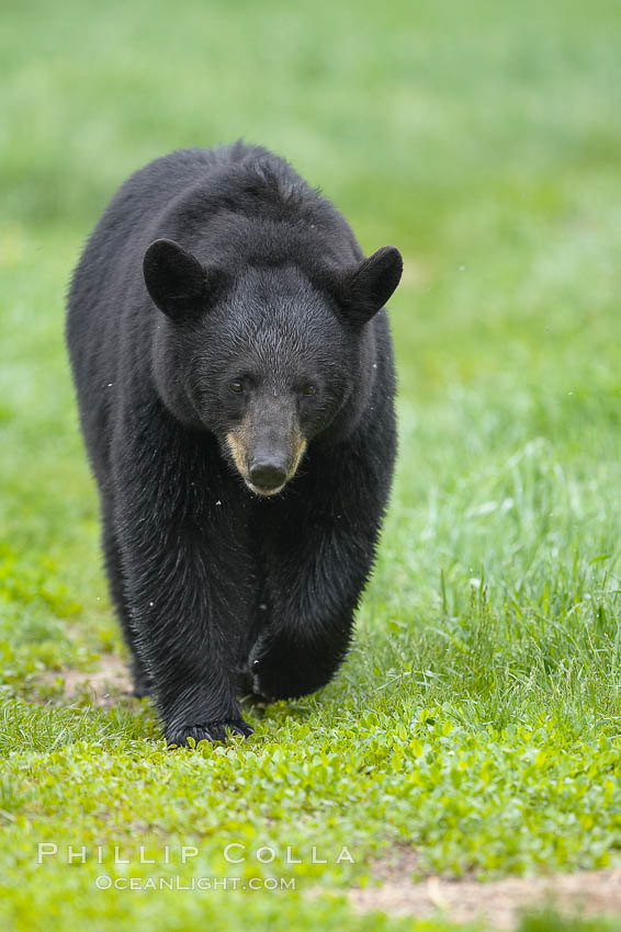 Black bear walking in a grassy meadow.  Black bears can live 25 years or more, and range in color from deepest black to chocolate and cinnamon brown.  Adult males typically weigh up to 600 pounds.  Adult females weight up to 400 pounds and reach sexual maturity at 3 or 4 years of age.  Adults stand about 3' tall at the shoulder. Orr, Minnesota, USA, Ursus americanus, natural history stock photograph, photo id 18863