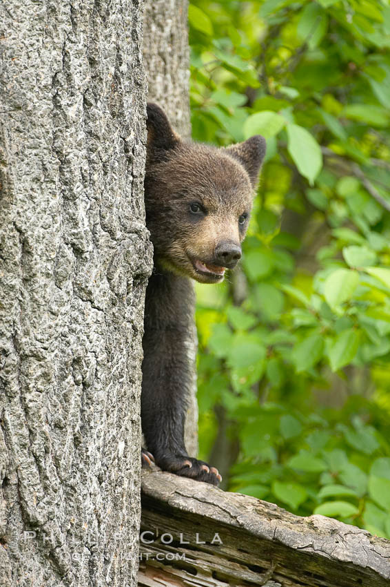 Black bear cub in a tree.  Mother bears will often send their cubs up into the safety of a tree if larger bears (who might seek to injure the cubs) are nearby.  Black bears have sharp claws and, in spite of their size, are expert tree climbers. Orr, Minnesota, USA, Ursus americanus, natural history stock photograph, photo id 18861