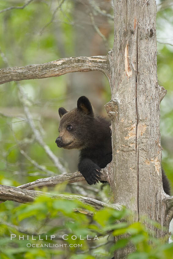 Black bear cub in a tree.  Mother bears will often send their cubs up into the safety of a tree if larger bears (who might seek to injure the cubs) are nearby.  Black bears have sharp claws and, in spite of their size, are expert tree climbers. Orr, Minnesota, USA, Ursus americanus, natural history stock photograph, photo id 18865
