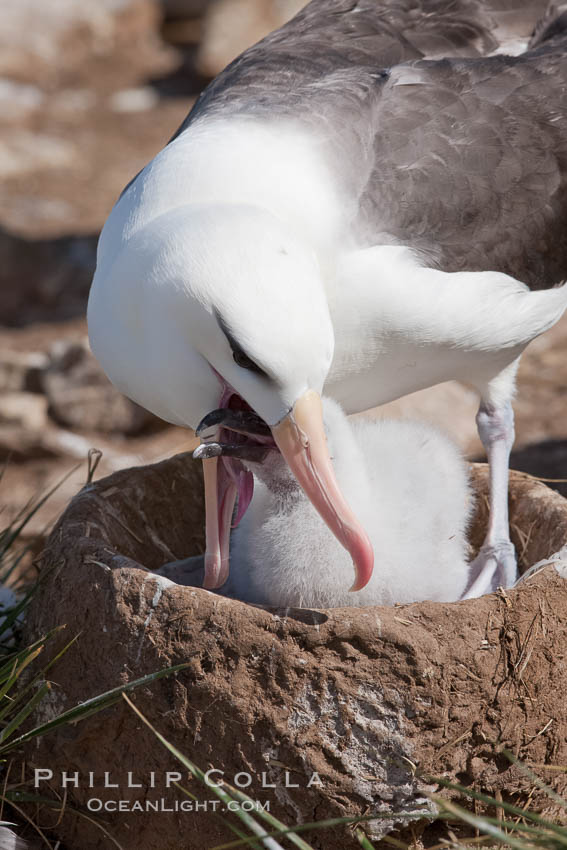 Black-browed albatross, feeding its chick on the nest by regurgitating food it was swallowed while foraging at sea, Steeple Jason Island breeding colony.  The single egg is laid in September or October.  Incubation takes 68 to 71 days, after which the chick is tended alternately by both adults until it fledges about 120 days later. Steeple Jason Island, Falkland Islands, United Kingdom, Thalassarche melanophrys, natural history stock photograph, photo id 24256
