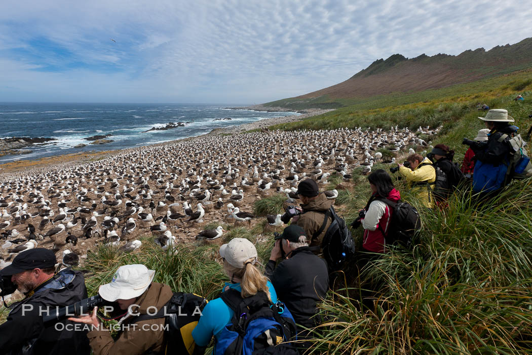 Image 24226, Visitors enjoy the spectacle, of the enormous breeding colony of black-browed albatrosses at Steeple Jason Island. Steeple Jason Island, Falkland Islands, United Kingdom, Thalassarche melanophrys, Phillip Colla, all rights reserved worldwide. Keywords: albatross, animal, animalia, atlantic, aves, bird, black-browed albatross, chordata, diomedea melanophris, diomedeidae, falkland islands, falklands, island, islas malvinas, malvinas, marine, melanophrys, ocean, oceans, outdoors, outside, procellariiformes, sea bird, seabird, south atlantic, southern ocean, steeple jason island, thalassarche, thalassarche melanophris, thalassarche melanophrys, united kingdom, vertebrata, vertebrate, wildlife.