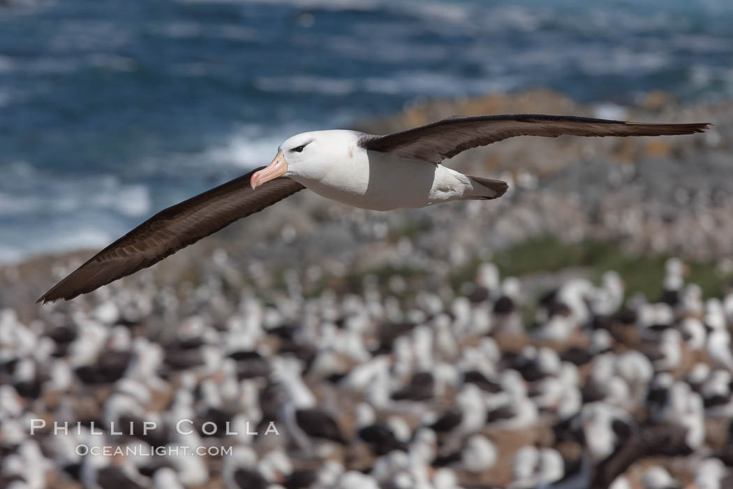 Black-browed albatross in flight, over the enormous colony at Steeple Jason Island in the Falklands. Steeple Jason Island, Falkland Islands, United Kingdom, Thalassarche melanophrys, natural history stock photograph, photo id 24081