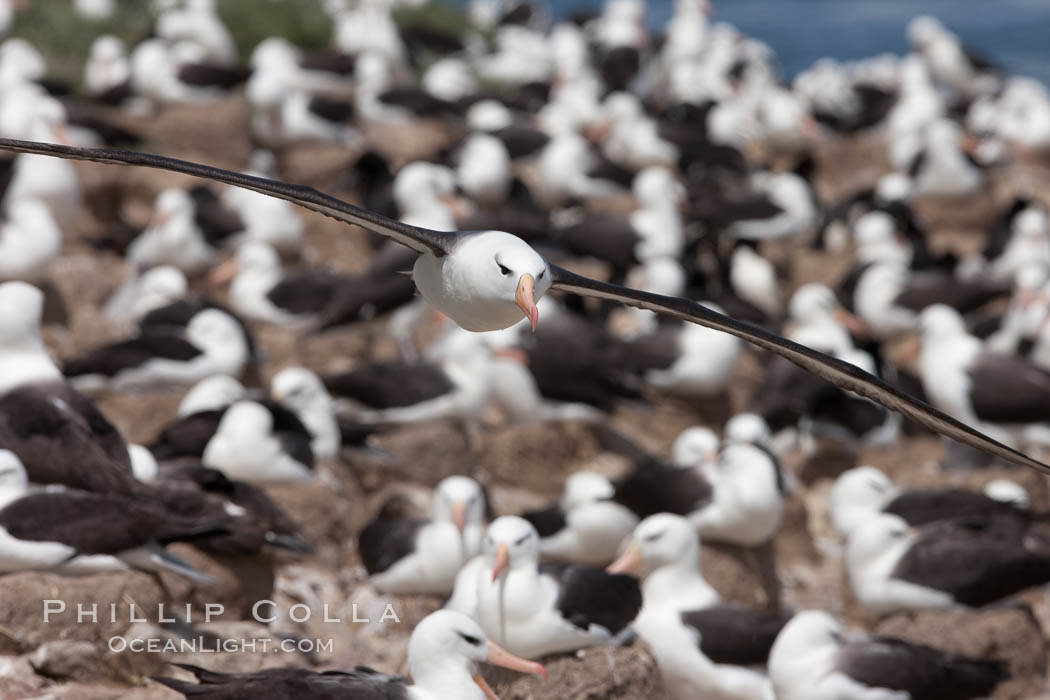 Black-browed albatross in flight, over the enormous colony at Steeple Jason Island in the Falklands. Falkland Islands, United Kingdom, Thalassarche melanophrys, natural history stock photograph, photo id 24213