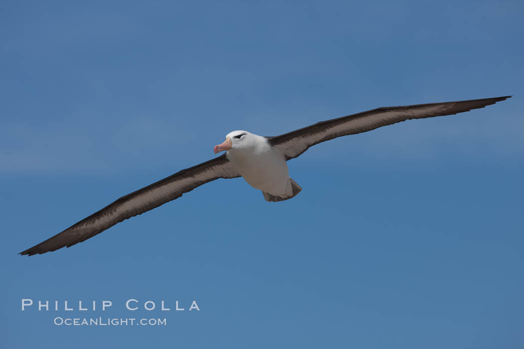 Black-browed albatross in flight, against a blue sky.  Black-browed albatrosses have a wingspan reaching up to 8', weigh up to 10 lbs and can live 70 years.  They roam the open ocean for food and return to remote islands for mating and rearing their chicks. Steeple Jason Island, Falkland Islands, United Kingdom, Thalassarche melanophrys, natural history stock photograph, photo id 24218