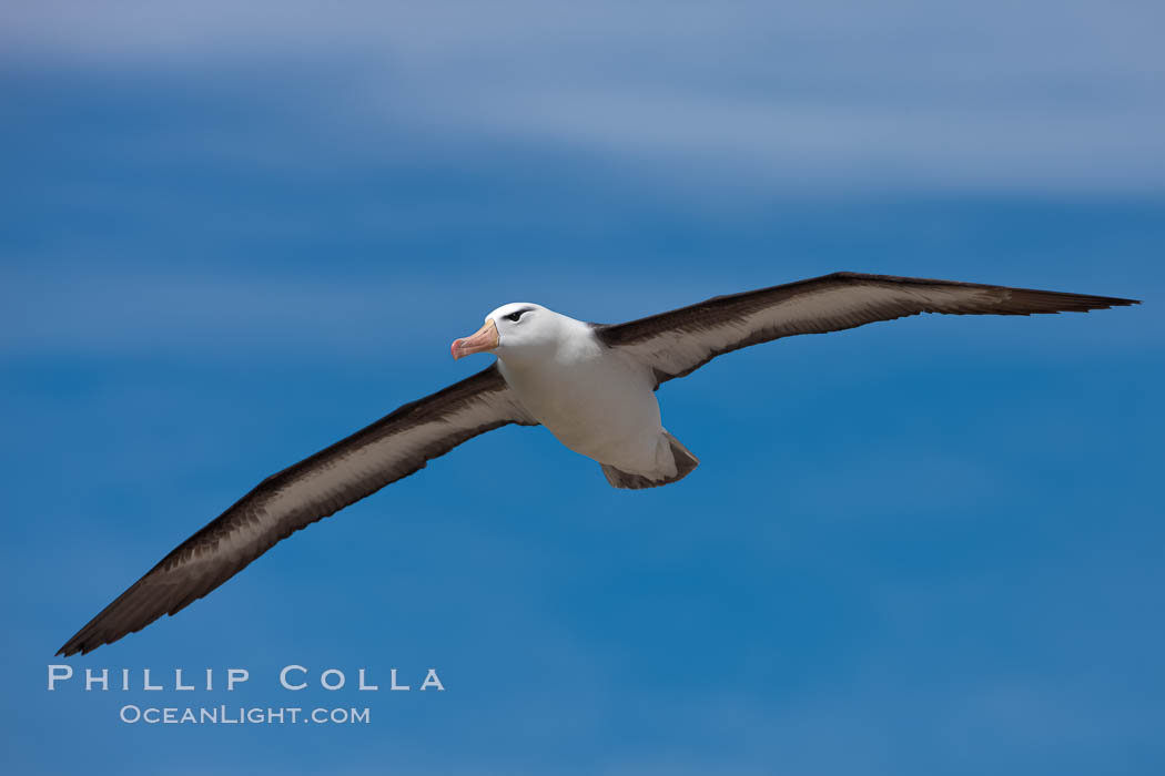 Black-browed albatross in flight, against a blue sky.  Black-browed albatrosses have a wingspan reaching up to 8', weigh up to 10 lbs and can live 70 years.  They roam the open ocean for food and return to remote islands for mating and rearing their chicks. Steeple Jason Island, Falkland Islands, United Kingdom, Thalassarche melanophrys, natural history stock photograph, photo id 24076