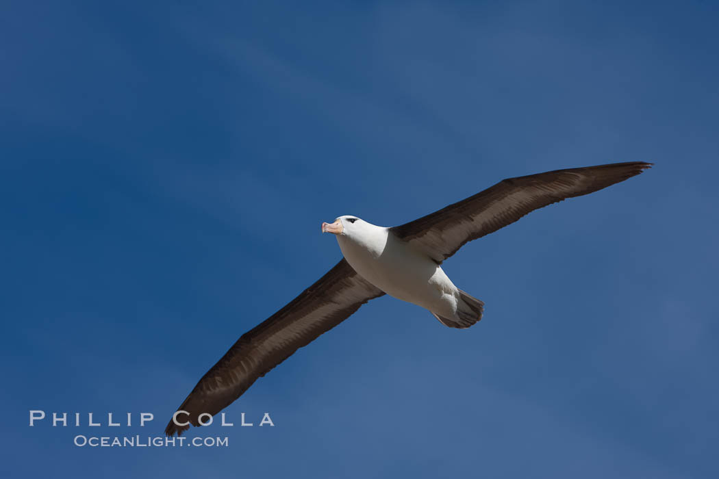Black-browed albatross in flight, against a blue sky.  Black-browed albatrosses have a wingspan reaching up to 8', weigh up to 10 lbs and can live 70 years.  They roam the open ocean for food and return to remote islands for mating and rearing their chicks. Steeple Jason Island, Falkland Islands, United Kingdom, Thalassarche melanophrys, natural history stock photograph, photo id 24116