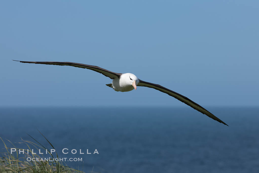 Black-browed albatross in flight, against a blue sky.  Black-browed albatrosses have a wingspan reaching up to 8', weigh up to 10 lbs and can live 70 years.  They roam the open ocean for food and return to remote islands for mating and rearing their chicks. Steeple Jason Island, Falkland Islands, United Kingdom, Thalassarche melanophrys, natural history stock photograph, photo id 24237