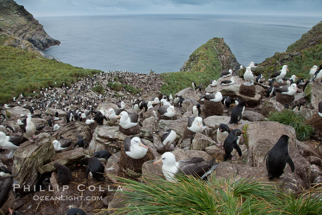 Colony of nesting black-browed albatross, rockhopper penguins and Imperial shags, set high above the ocean on tussock grass-covered seacliffs. Westpoint Island, Falkland Islands, United Kingdom, Thalassarche melanophrys,  Eudyptes chrysocome, Phalacrocorax atriceps, natural history stock photograph, photo id 23935