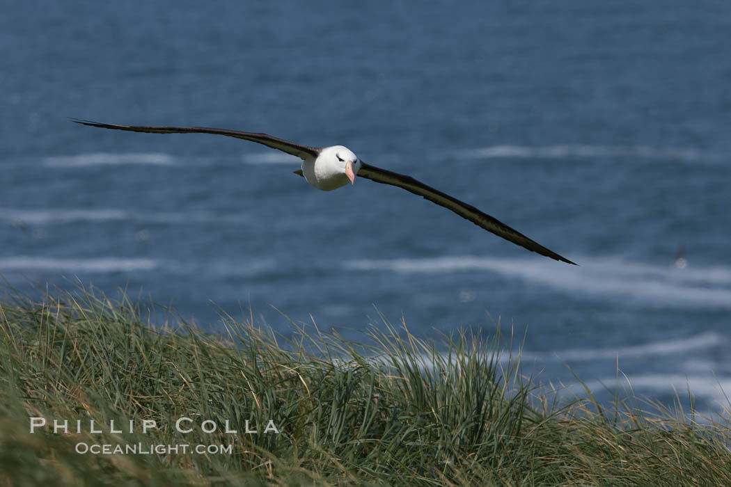 Black-browed albatross soaring in the air, near the breeding colony at Steeple Jason Island. Falkland Islands, United Kingdom, Thalassarche melanophrys, natural history stock photograph, photo id 24154