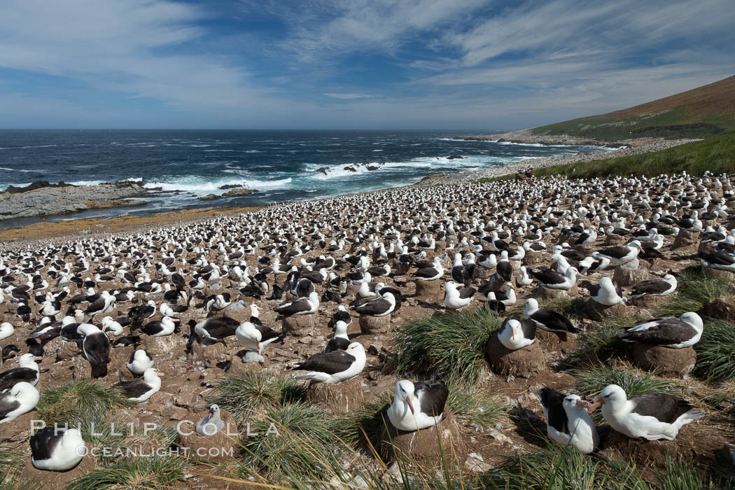 Black-browed albatross colony on Steeple Jason Island in the Falklands.  This is the largest breeding colony of black-browed albatrosses in the world, numbering in the hundreds of thousands of breeding pairs.  The albatrosses lay eggs in September and October, and tend a single chick that will fledge in about 120 days. Steeple Jason Island, Falkland Islands, United Kingdom, Thalassarche melanophrys, natural history stock photograph, photo id 24157