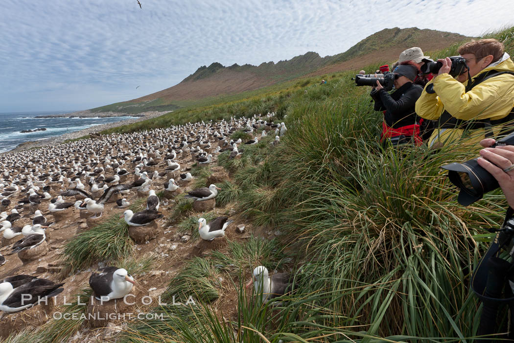 Visitors enjoy the spectacle, of the enormous breeding colony of black-browed albatrosses at Steeple Jason Island. Steeple Jason Island, Falkland Islands, United Kingdom, Thalassarche melanophrys, natural history stock photograph, photo id 24148