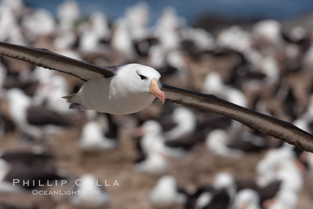 Black-browed albatross in flight, over the enormous colony at Steeple Jason Island in the Falklands. Steeple Jason Island, Falkland Islands, United Kingdom, Thalassarche melanophrys, natural history stock photograph, photo id 24212