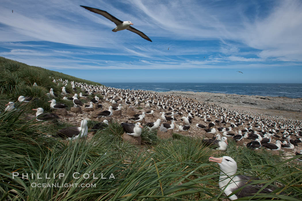 Black-browed albatross in flight, over the enormous colony at Steeple Jason Island in the Falklands. Steeple Jason Island, Falkland Islands, United Kingdom, Thalassarche melanophrys, natural history stock photograph, photo id 24147