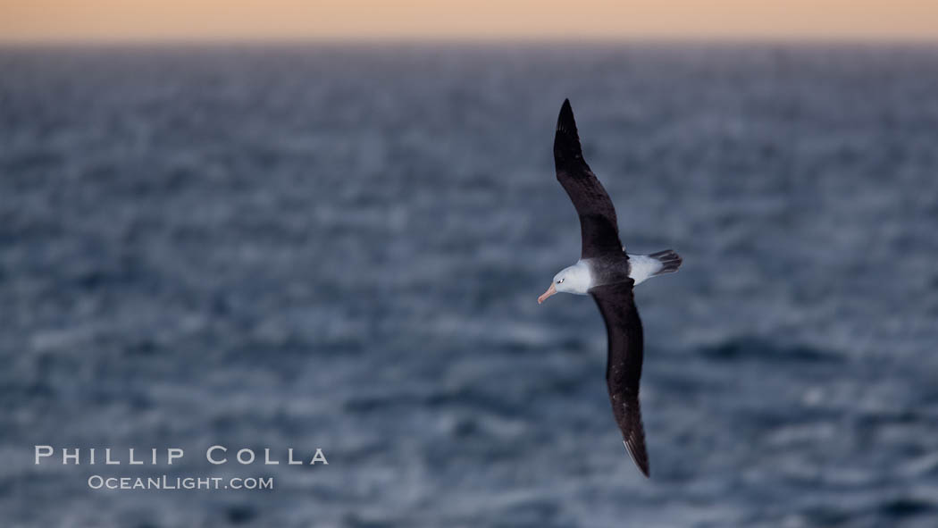 Image 24021, Black-browed albatross flying over the ocean, as it travels and forages for food at sea.  The black-browed albatross is a medium-sized seabird at 31-37