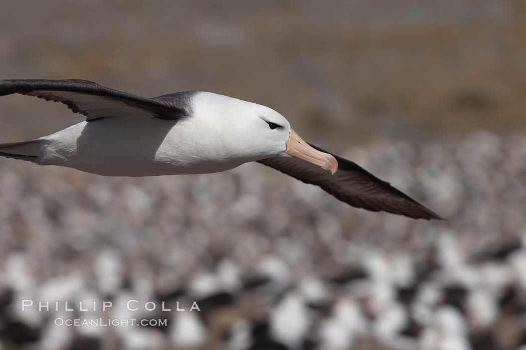 Black-browed albatross in flight, over the enormous colony at Steeple Jason Island in the Falklands. Falkland Islands, United Kingdom, Thalassarche melanophrys, natural history stock photograph, photo id 24244