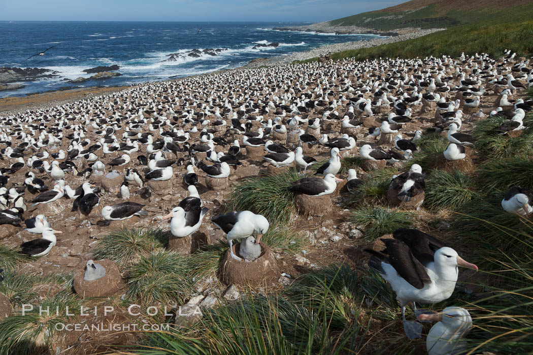 Black-browed albatross colony on Steeple Jason Island in the Falklands.  This is the largest breeding colony of black-browed albatrosses in the world, numbering in the hundreds of thousands of breeding pairs.  The albatrosses lay eggs in September and October, and tend a single chick that will fledge in about 120 days. Steeple Jason Island, Falkland Islands, United Kingdom, Thalassarche melanophrys, natural history stock photograph, photo id 24268
