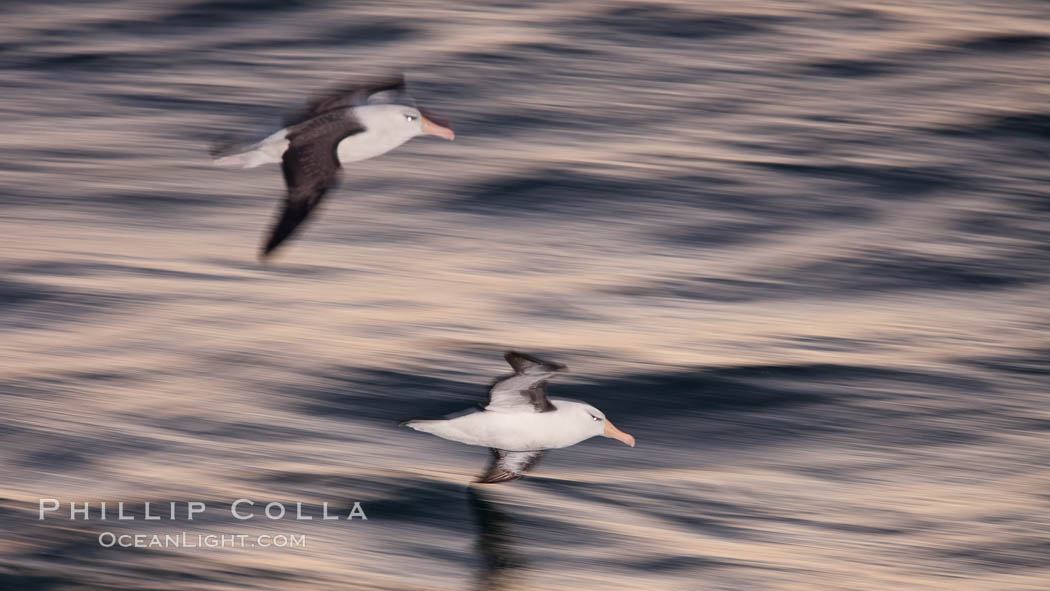 """Two black-browed albatross flying over the ocean at night, travelling and foraging for food at sea.  The black-browed albatross is a medium-sized seabird at 31-37"""" long with a 79-94"""" wingspan and an average weight of 6.4-10 lb. They have a natural lifespan exceeding 70 years. They breed on remote oceanic islands and are circumpolar, ranging throughout the Southern Oceanic. Falkland Islands, United Kingdom, Thalassarche melanophrys, natural history stock photograph, photo id 23979"""