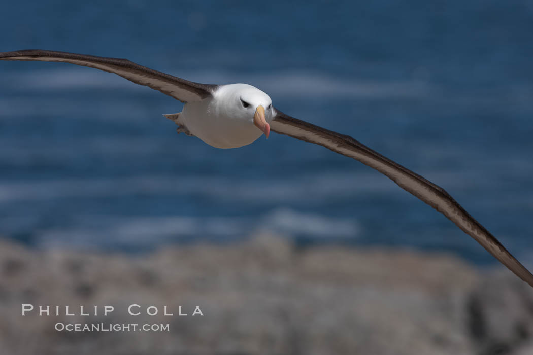 Black-browed albatross soaring in the air, near the breeding colony at Steeple Jason Island. Falkland Islands, United Kingdom, Thalassarche melanophrys, natural history stock photograph, photo id 24215