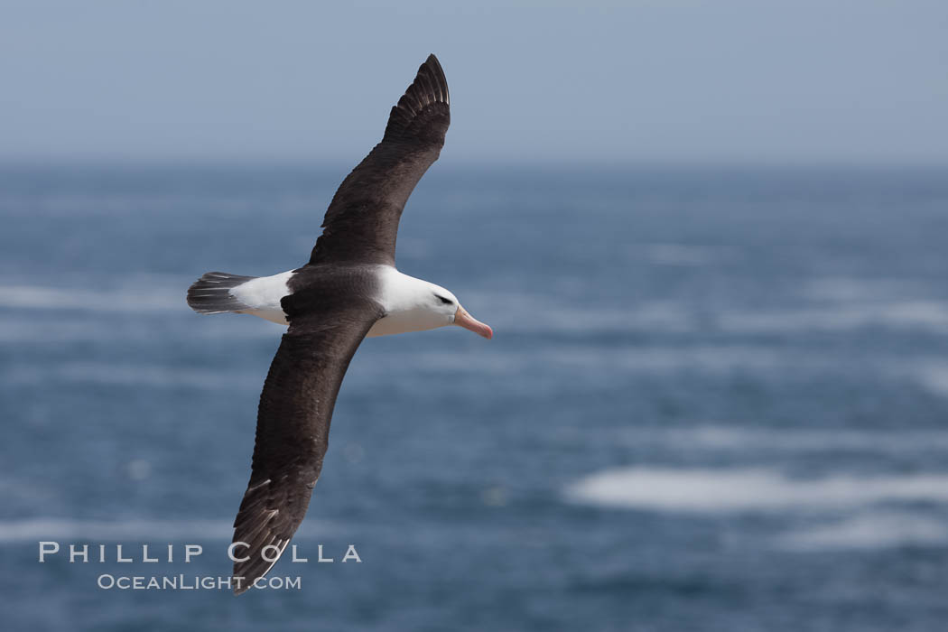 Image 24217, Black-browed albatross, in flight over the ocean.  The wingspan of the black-browed albatross can reach 10', it can weigh up to 10 lbs and live for as many as 70 years. Steeple Jason Island, Falkland Islands, United Kingdom, Thalassarche melanophrys