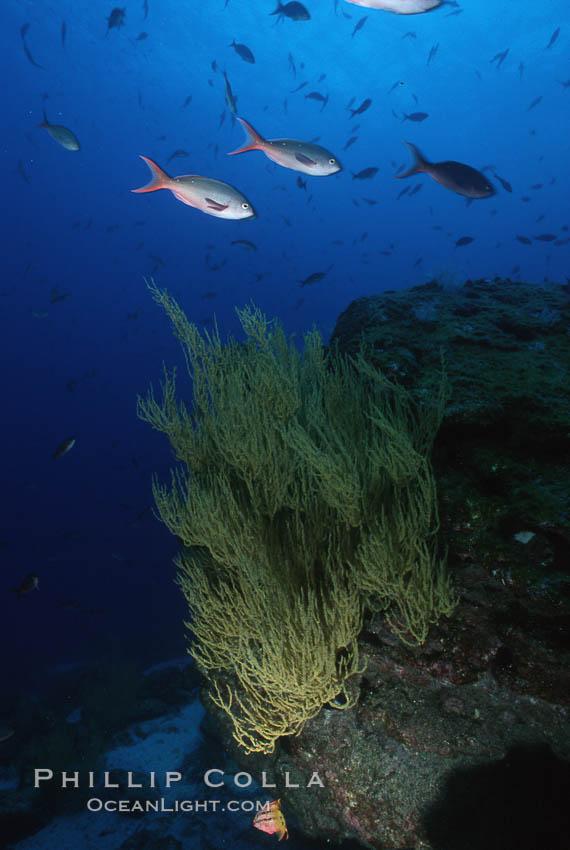 Black coral. Isla Champion, Galapagos Islands, Ecuador, Antipathidae, natural history stock photograph, photo id 05347