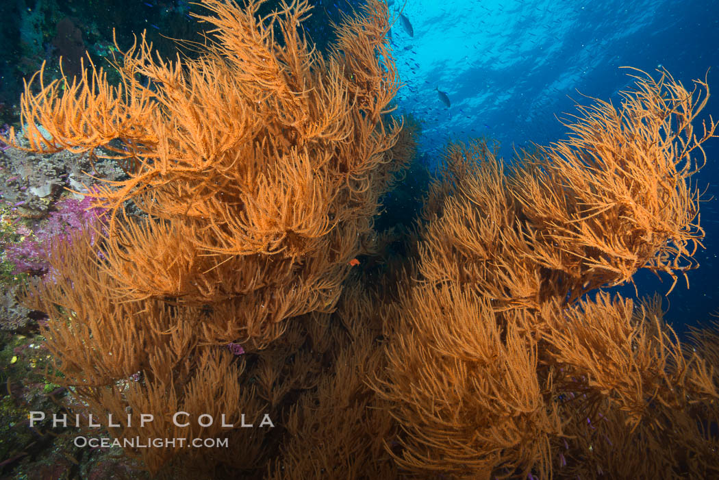 Black coral, Fiji. Namena Marine Reserve, Namena Island, natural history stock photograph, photo id 31589