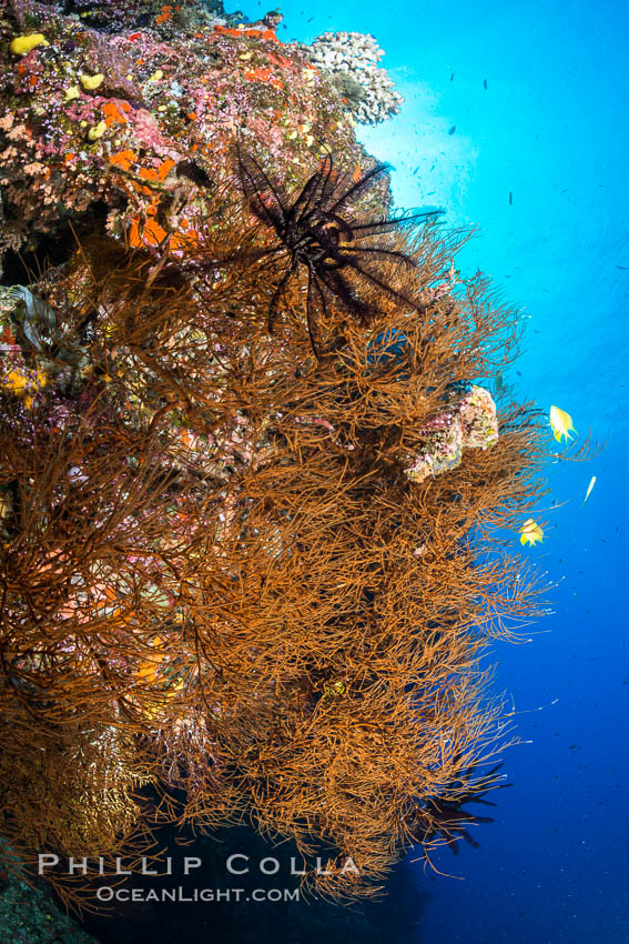 Black coral, Fiji. Vatu I Ra Passage, Bligh Waters, Viti Levu  Island, Crinoidea, natural history stock photograph, photo id 31685