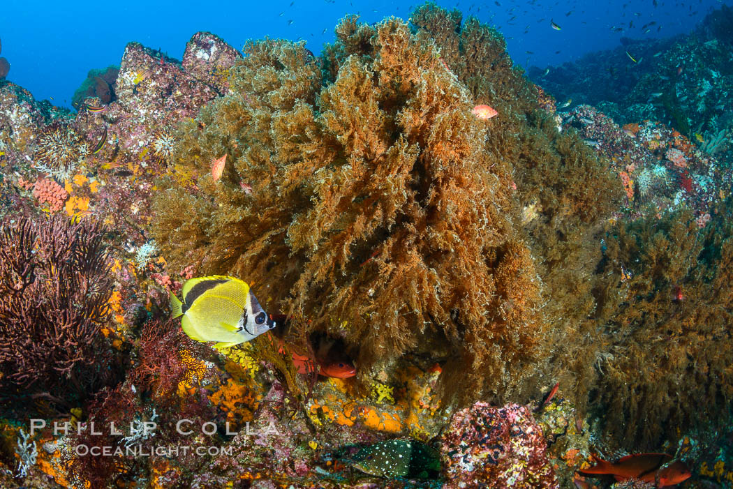 Black coral on Healthy Coral Reef, Antipatharia, Sea of Cortez, Antipatharia