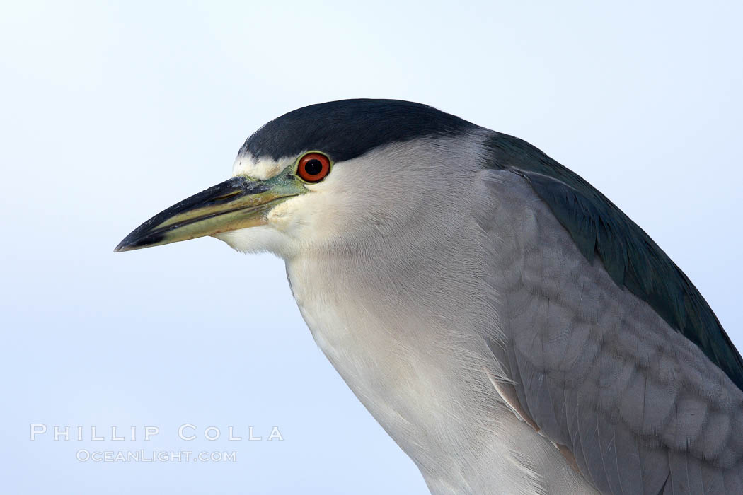 Black-crowned night heron, adult. San Diego, California, USA, Nycticorax nycticorax, natural history stock photograph, photo id 21363