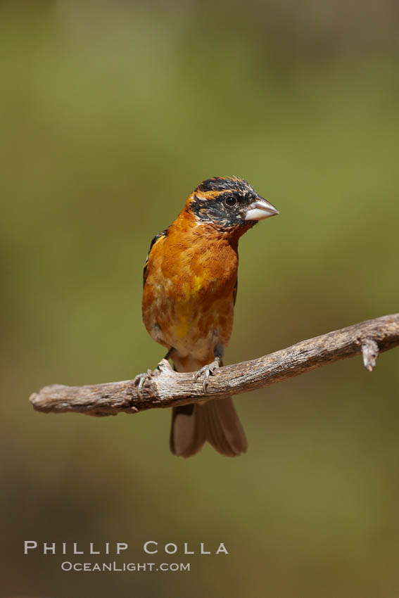 Image 23078, Black-headed grosbeak, male. Madera Canyon Recreation Area, Green Valley, Arizona, USA, Pheucticus melanocephalus