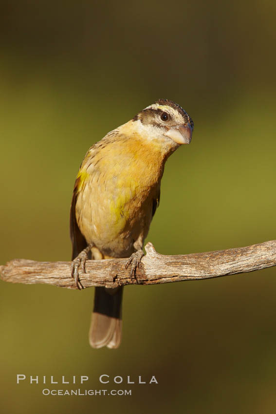 Black-headed grosbeak, female. Madera Canyon Recreation Area, Green Valley, Arizona, USA, Pheucticus melanocephalus, natural history stock photograph, photo id 23025