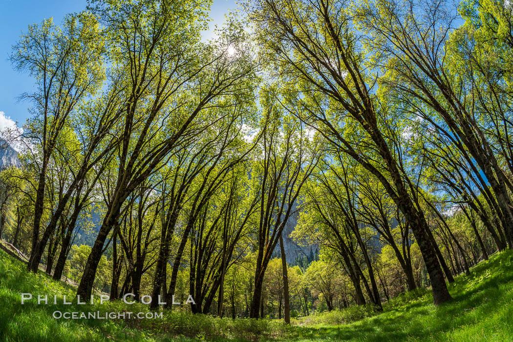 Black Oaks below El Capitan, Quercus kelloggii, El Capitan meadow, Yosemite Valley. Yosemite National Park, California, USA, natural history stock photograph, photo id 34554