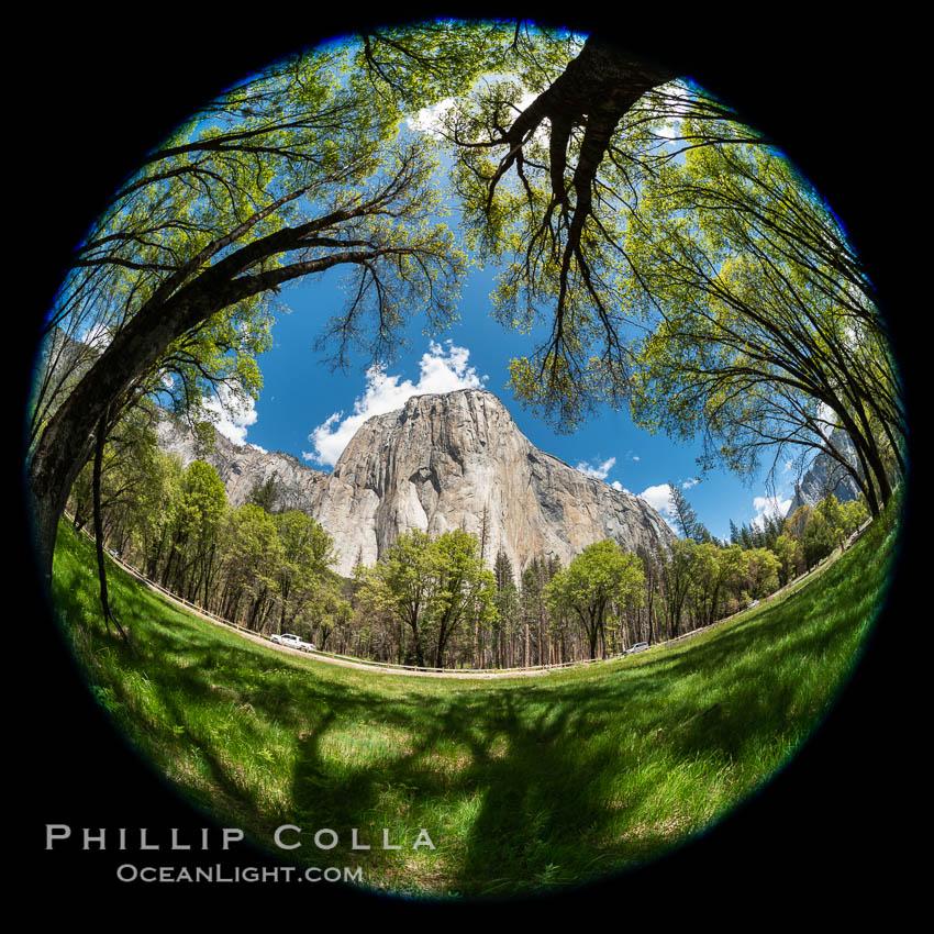 Black Oaks below El Capitan, Quercus kelloggii, El Capitan meadow, Yosemite Valley. Yosemite National Park, California, USA, natural history stock photograph, photo id 34556