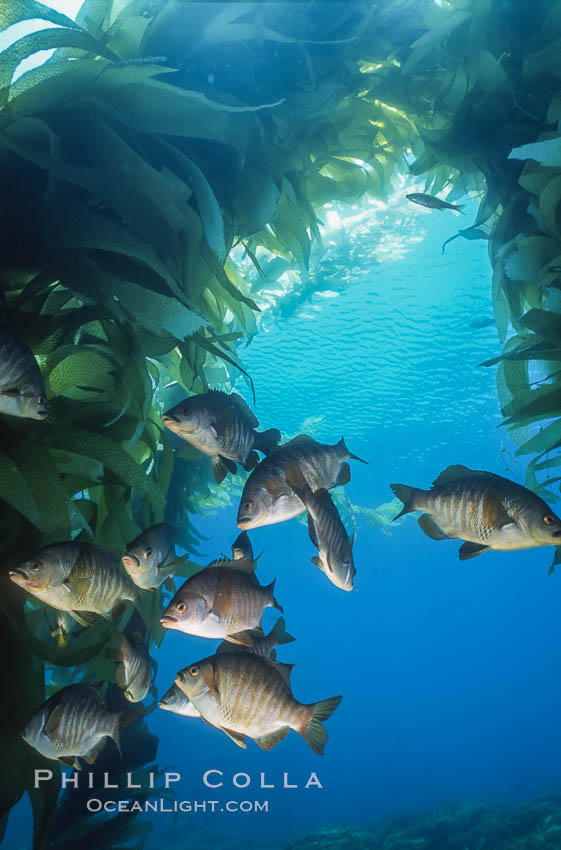 Black perch in kelp forest. San Clemente Island, California, USA, Embiotoca jacksoni, natural history stock photograph, photo id 04812