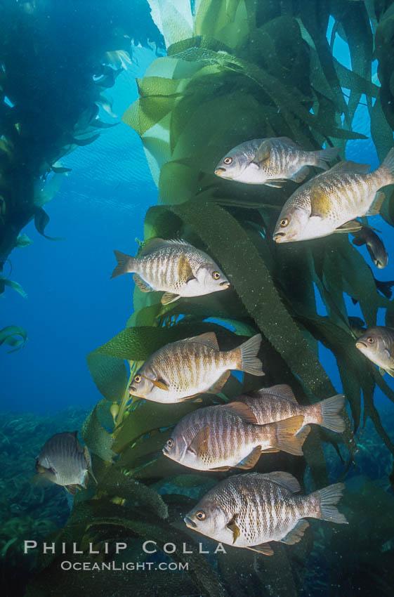 Black perch in kelp forest. San Clemente Island, California, USA, Embiotoca jacksoni, natural history stock photograph, photo id 04811