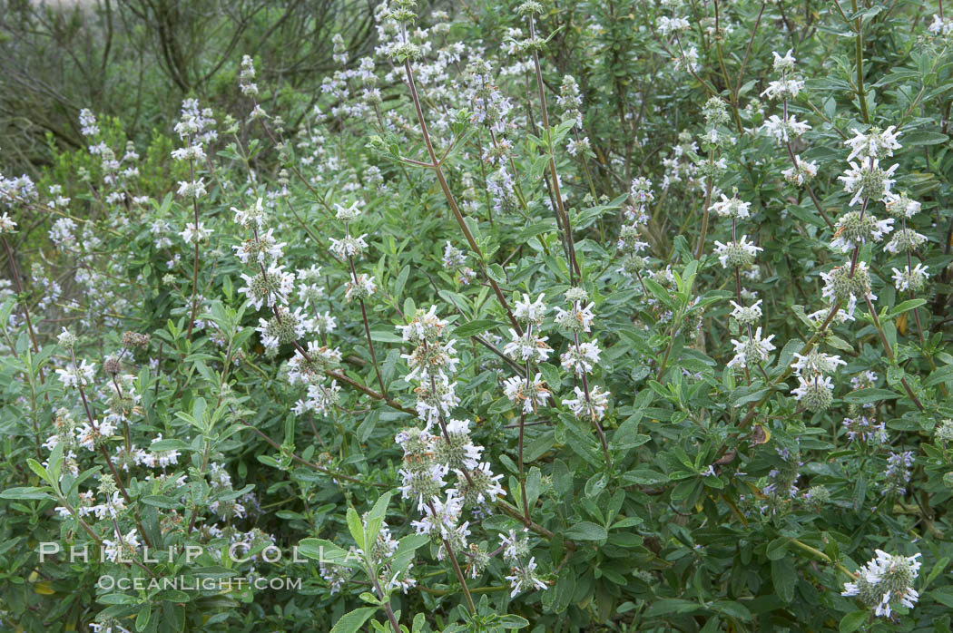 Black sage. San Elijo Lagoon, Encinitas, California, USA, Salvia mellifera, natural history stock photograph, photo id 11314