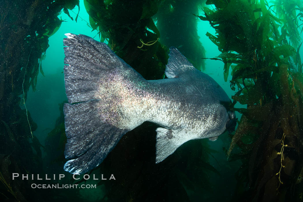 Giant black sea bass, endangered species, reaching up to 8' in length and 500 lbs, amid giant kelp forest. Catalina Island, California, USA. Catalina Island, California, USA, Stereolepis gigas, natural history stock photograph, photo id 34618