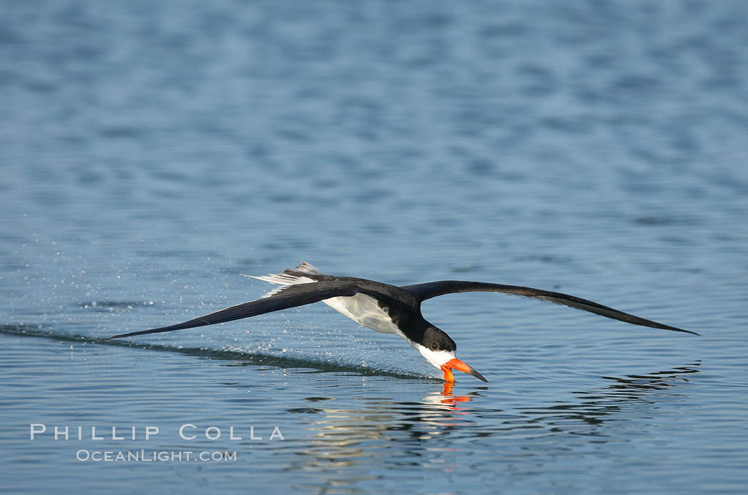 Black skimmer forages by flying over shallow water with its lower mandible dipping below the surface for small fish. San Diego Bay National Wildlife Refuge, California, USA, Rynchops niger, natural history stock photograph, photo id 17436