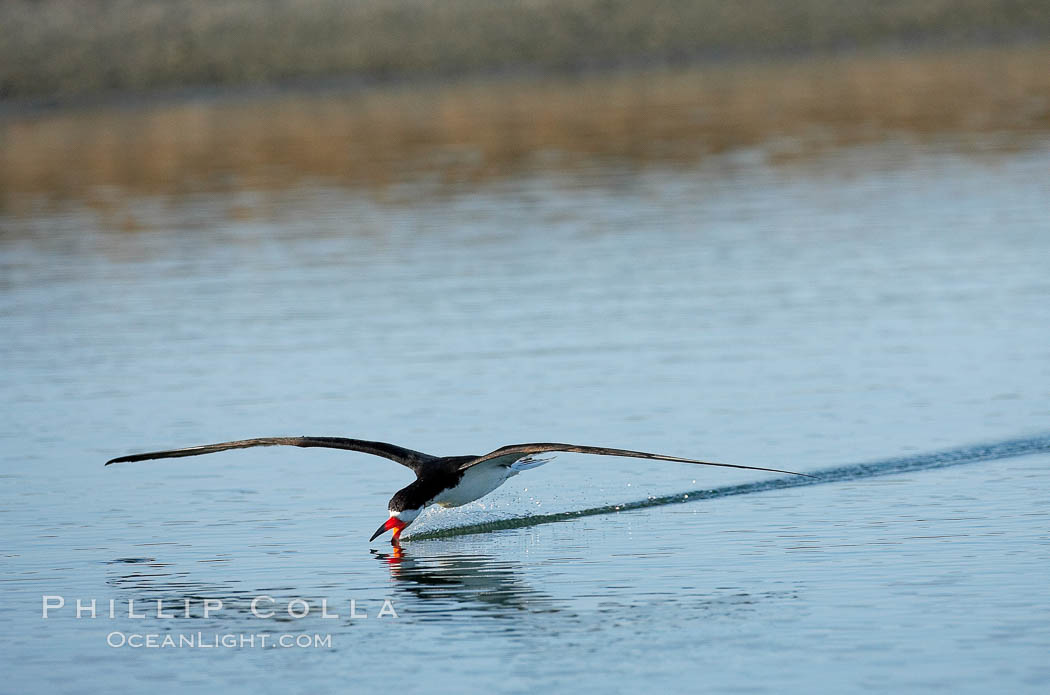 Black skimmer forages by flying over shallow water with its lower mandible dipping below the surface for small fish. San Diego Bay National Wildlife Refuge, California, USA, Rynchops niger, natural history stock photograph, photo id 17427