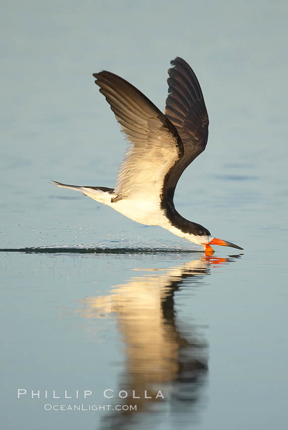 Black skimmer forages by flying over shallow water with its lower mandible dipping below the surface for small fish. San Diego Bay National Wildlife Refuge, San Diego, California, USA, Rynchops niger, natural history stock photograph, photo id 17421