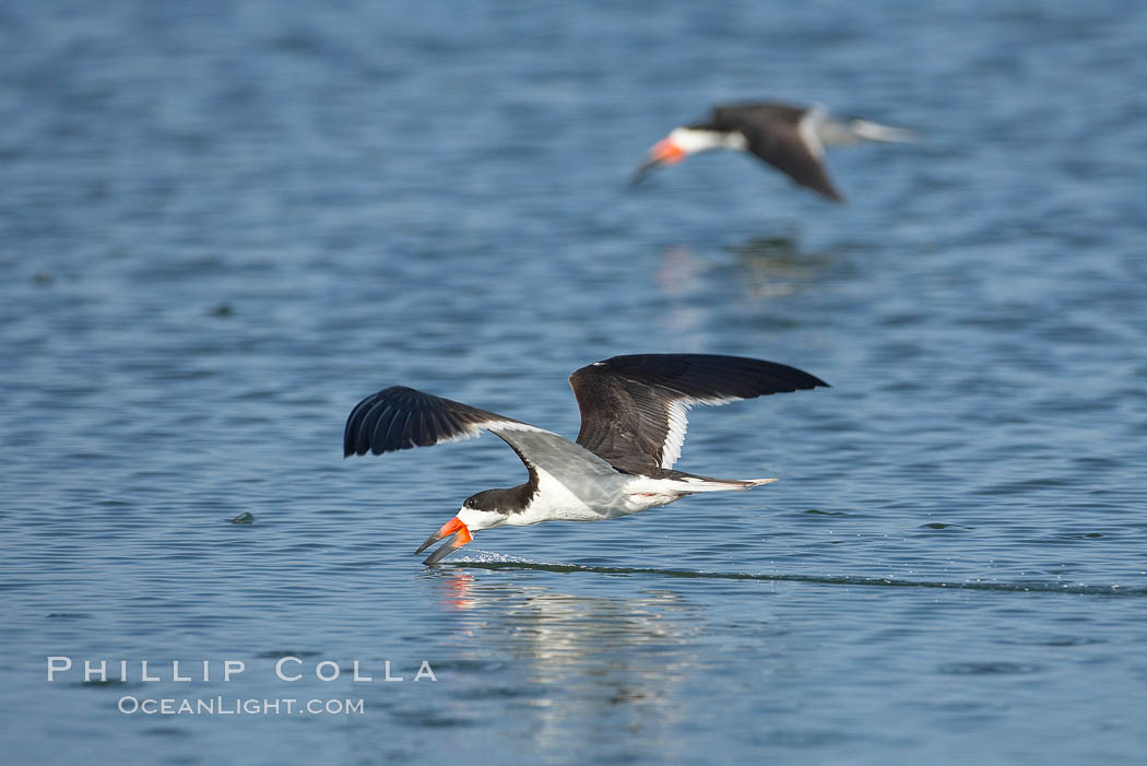 Black skimmer forages by flying over shallow water with its lower mandible dipping below the surface for small fish. San Diego Bay National Wildlife Refuge, California, USA, Rynchops niger, natural history stock photograph, photo id 17434
