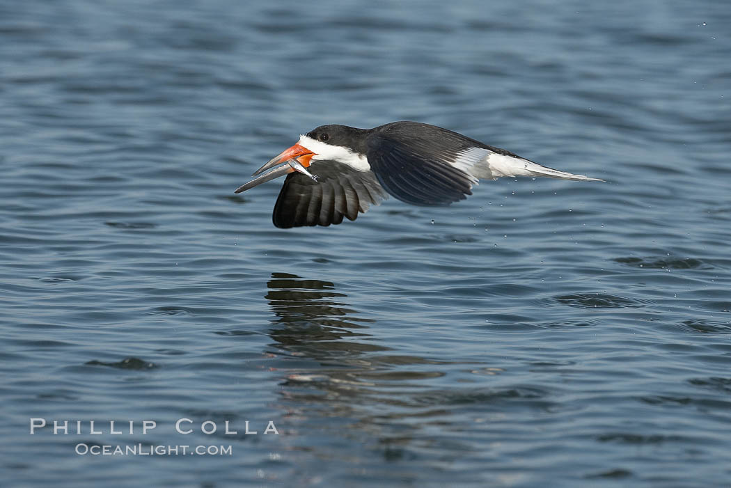 Black skimmer forages by flying over shallow water with its lower mandible dipping below the surface for small fish. San Diego Bay National Wildlife Refuge, San Diego, California, USA, Rynchops niger, natural history stock photograph, photo id 17431