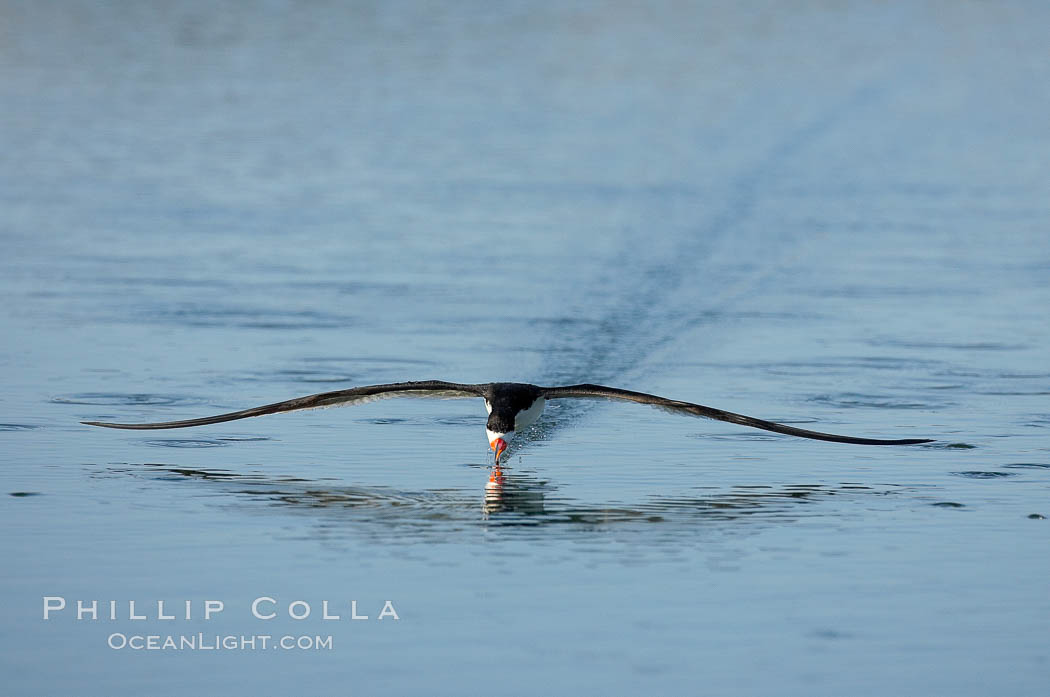 Black skimmer forages by flying over shallow water with its lower mandible dipping below the surface for small fish. San Diego Bay National Wildlife Refuge, San Diego, California, USA, Rynchops niger, natural history stock photograph, photo id 17425