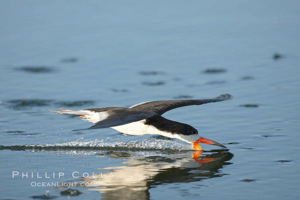 Black skimmer forages by flying over shallow water with its lower mandible dipping below the surface for small fish. San Diego Bay National Wildlife Refuge, California, USA, Rynchops niger, natural history stock photograph, photo id 17437