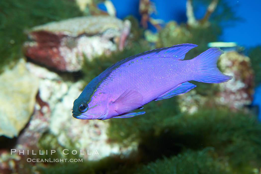 Blackcap gramma basslet., Gramma melacara, natural history stock photograph, photo id 11771