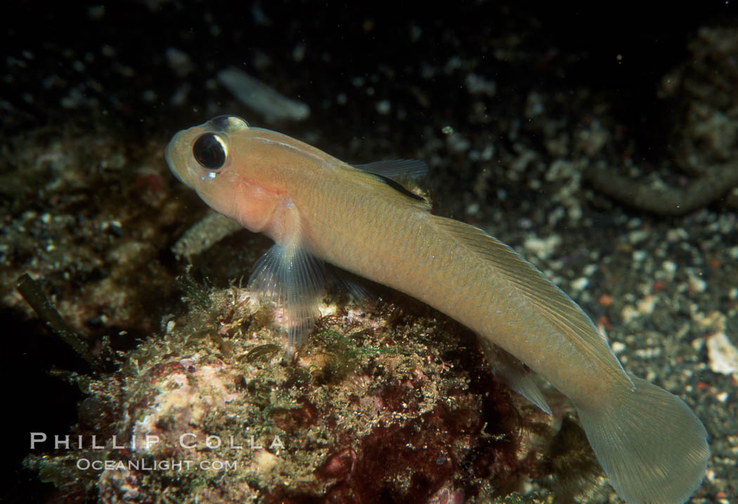 Image 02018, Blackeye Goby. San Clemente Island, California, USA, Rhinogobiops nicholsii, Phillip Colla, all rights reserved worldwide. Keywords: animal, black-eyed goby, blackeye goby, california, california baja california, channel islands, coryphopterus nicholsi, fish, goby, indo-pacific, marine, marine fish, nature, ocean, oceans, pacific, rhinogobiops nicholsii, san clemente island, sea, teleost fish, underwater, usa, wildlife.