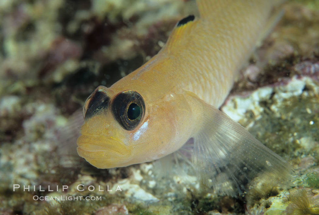 Blackeye goby. Catalina Island, California, USA, Rhinogobiops nicholsii, natural history stock photograph, photo id 04799