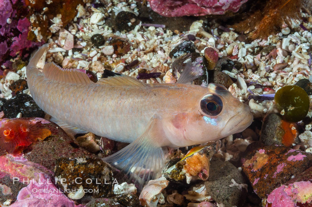 Blackeye goby. Santa Barbara Island, California, USA, Rhinogobiops nicholsii, natural history stock photograph, photo id 10183