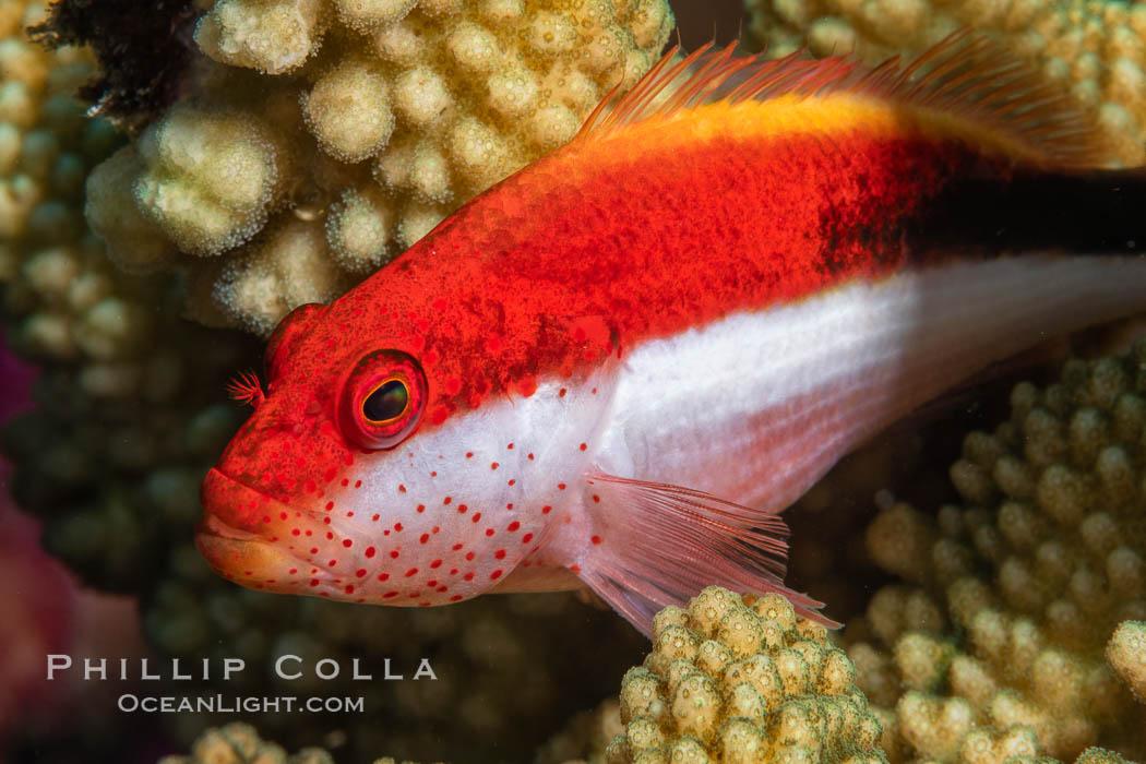 Blackside hawkfish on hard coral, Paracirrhites forsteri, close-up, Fiji, Paracirrhites forsteri, Namena Marine Reserve, Namena Island