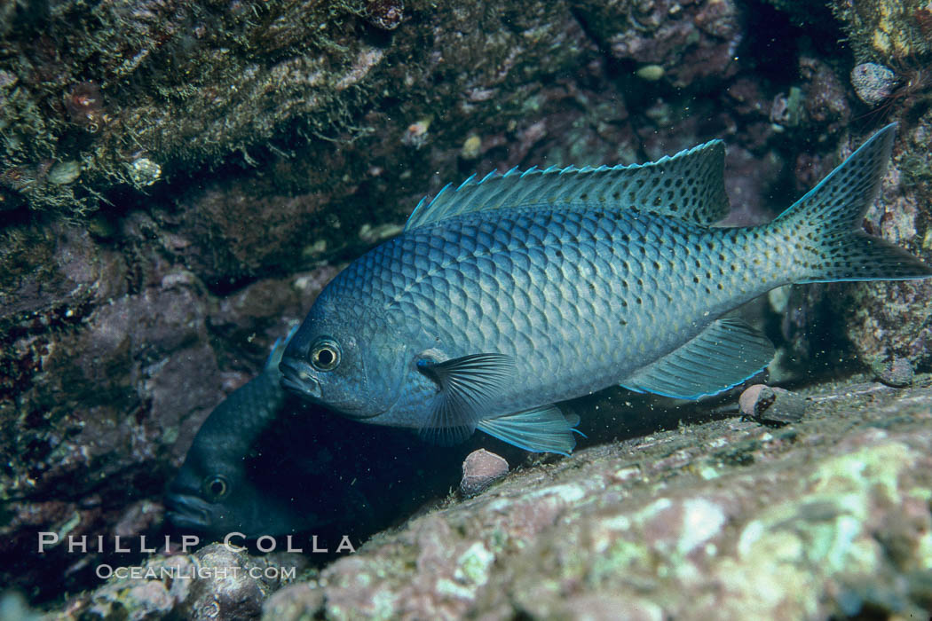 Blacksmith perch. Catalina Island, California, USA, Chromis punctipinnis, natural history stock photograph, photo id 05172