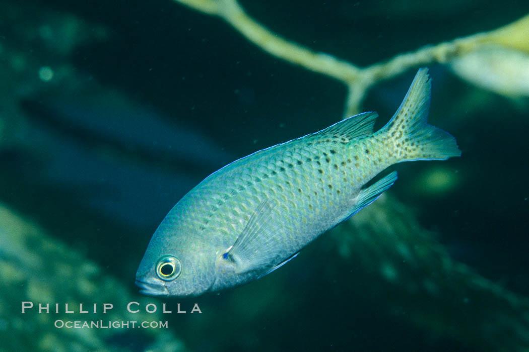 Blacksmith amidst kelp. Catalina Island, California, USA, Chromis punctipinnis, Macrocystis pyrifera, natural history stock photograph, photo id 00633
